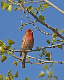 Free House Finch Stock Images - 24669384