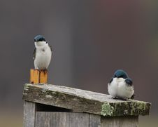 Tree Swallows On Nest Box Stock Photos