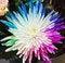 Free Colorful Chrysanthemum Stock Photo - 24666590
