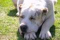 Free Argentinian Dog Stock Image - 24670721