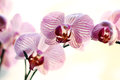 Free Beautiful Orchid Royalty Free Stock Images - 24671039