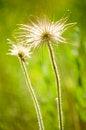 Free Mountain Pasque Flower Royalty Free Stock Image - 24673016