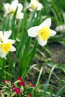 Free Narcissus Flowers Stock Photo - 24671030