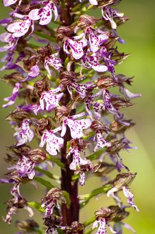 Free Wild Orchid Royalty Free Stock Photo - 24672805