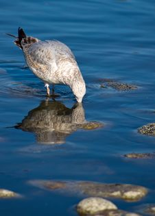 Free Seagull Drinking Stock Photo - 24678710