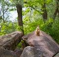 Free Alert Suricate Or Meerkat In Nature Royalty Free Stock Photo - 24687645