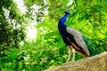 Free Calling Peacock Royalty Free Stock Photo - 24688445