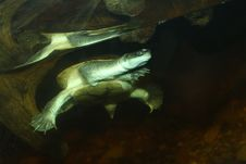 Free Long Necked Turtle Royalty Free Stock Photos - 24680178