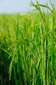 Free Rice Field Vertical Scene Royalty Free Stock Image - 24681936