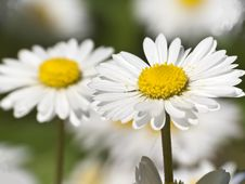 Free White Daisy Close-up Royalty Free Stock Photography - 24684107