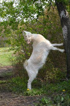 Free Miniature Goat Stock Image - 24688131