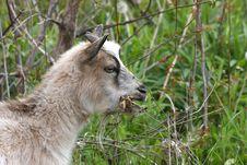 Free Miniature Goat Stock Photo - 24688210