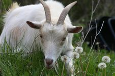 Free Miniature Goat Stock Photography - 24688292