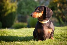 Free Dachshund Stock Images - 24688294