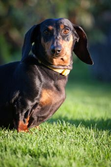 Free Dachshund Royalty Free Stock Photos - 24688328