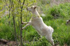 Free Miniature Goat Stock Photos - 24688333