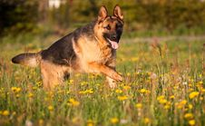 Free Alsatian Royalty Free Stock Images - 24688389