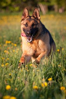 Free Alsatian Stock Photography - 24688412