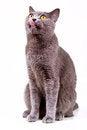 Free British Cat Stock Images - 24695644