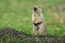 Free Prairie Dog Stock Photo - 24690120