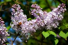 Free Branch Of Lilac Stock Images - 24694544