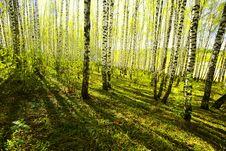 Free Forest Birch Stock Photo - 24695440