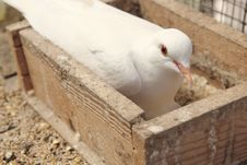 Free White Dove In The Nest Stock Images - 24696134