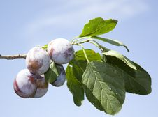 Free Plums On Branch Royalty Free Stock Photography - 24699307
