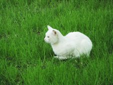 Free White Cat In The Grass Royalty Free Stock Photography - 2470397