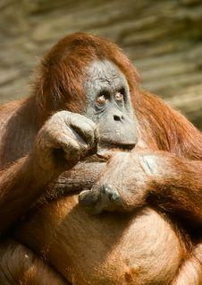 Fan Monkey Pose Royalty Free Stock Photo