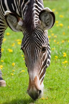 Free Zebra Eating Grass. Close Up Stock Image - 2470611