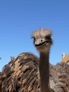 Free Young Ostriches On A Farm Stock Photo - 2471470
