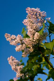 Blooming Purple Lilac Royalty Free Stock Photo