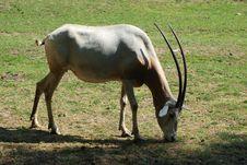 Free Oryx Royalty Free Stock Photos - 2472538