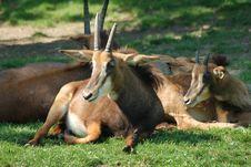Free Sable Antelope Stock Image - 2472551