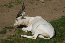 Free Mendes-Antelope Stock Photography - 2472552