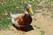 Free Duck Royalty Free Stock Photos - 2472618