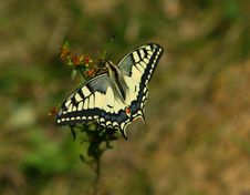 Free Swallowtail Butterfly Royalty Free Stock Photography - 2473177