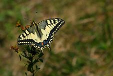 Free Swallowtail Butterfly Royalty Free Stock Photo - 2473195