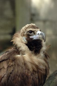 Free Vulture Portrait Stock Photography - 2474812