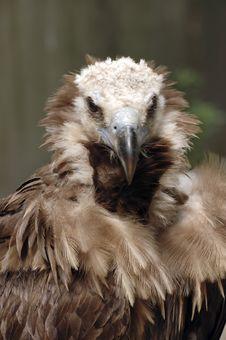 Vulture Portrait Royalty Free Stock Image