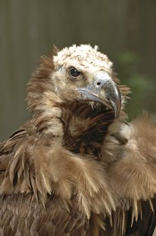 Free Vulture Portrait Stock Images - 2474834