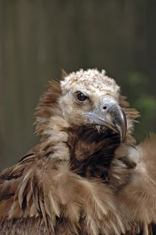 Free Vulture Portrait Royalty Free Stock Image - 2474846