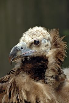 Free Vulture Portrait Royalty Free Stock Photos - 2474898