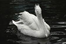 Free Pelican Portrait Royalty Free Stock Photo - 2474905