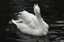 Free Pelican Portrait Royalty Free Stock Photo - 2474905