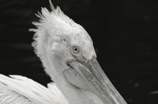 Free Pelican Portrait Royalty Free Stock Images - 2474909