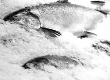 Free Fish On Ice Royalty Free Stock Images - 2475819