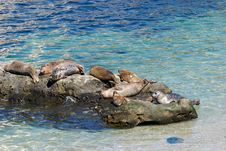 Seals Resting On Rocks Stock Photo