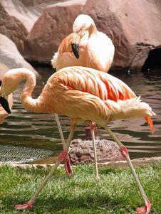 Free Flamingos Stock Photos - 2476553